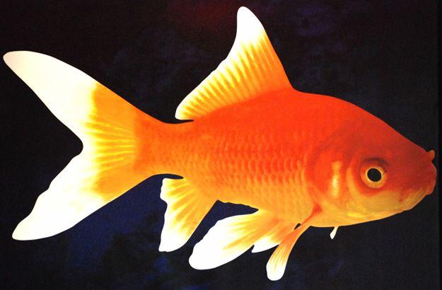 Poisson rouge for Nom poisson rouge